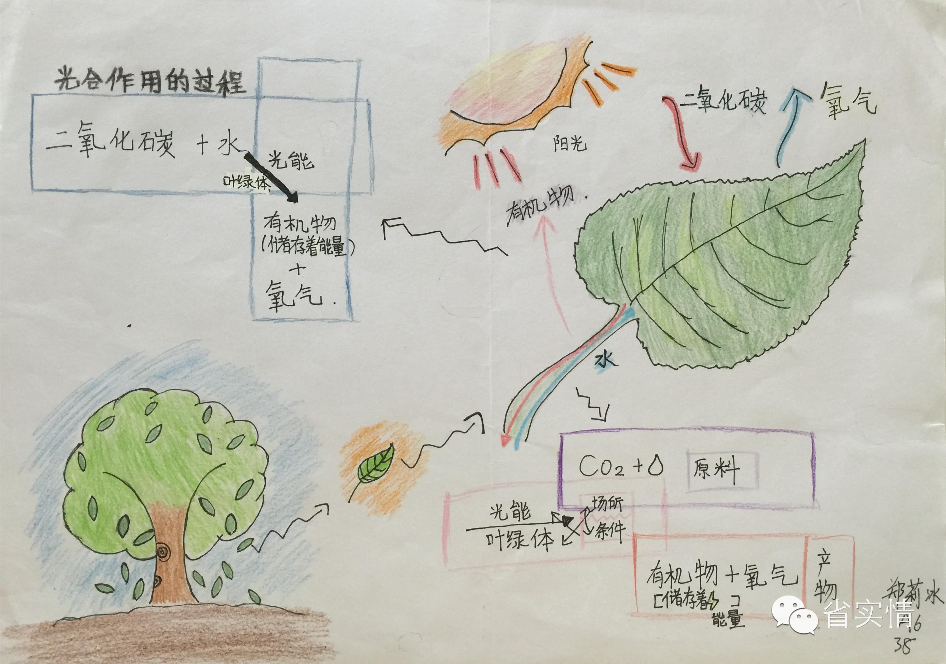 初一生物学思维导图作业展示 光合作用 开花与结果